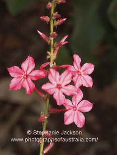 photo of pink flowers of plumbago zeylanica australian native
