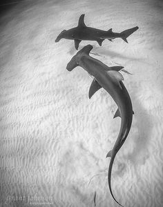 Their eyes are placed on the outer edges of the hammer which helps them to see above and below but they can't see right in front of them Hammerhead Shark Tattoo, Shark Tattoos, Shark Pictures, Shark Photos, Underwater Creatures, Ocean Creatures, Underwater Photography, Animal Photography, Orcas