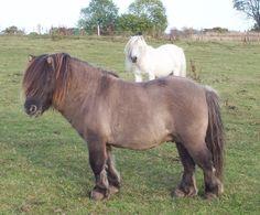 Shetland Stallions