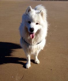 Let's go to the BEACH ! #cute #dog #animal #pet #swim #ocean #beach #chien #France Discover other photos on Yummypets the social network for pet and his profile HERE ==> http://www.yummypets.com/pic/2283889