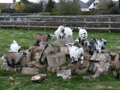 Kids playing - from Pygmy Goat Club webpage #goatvet loves this