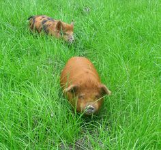 pigs in grass by NellyMoser.