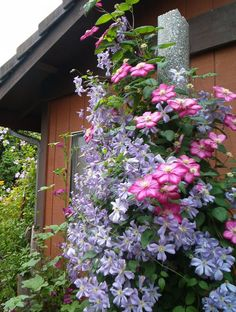 Clematis 'Prince Charles' with 'Ville de Lyon'