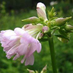 Sæbeurt Saponaria officinalis