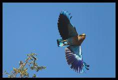 A blue jay in flight
