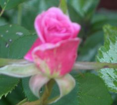 First rose bud of the year