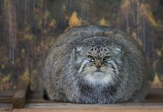 Speaking of stares, the pallas cat is the king of stares.