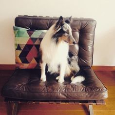 Shetland Sheepdog, Barcelona Chair, Sheltie, Van, Blanket, Blankets, Vans, Cover, Comforters