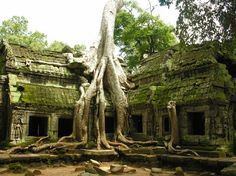 The trees growing out of the ruins of Ta Prohm, a Cambodian temple, are fascinating. There are two main species that predominate in Ta Prohm. Some specialists claim that the larger tree (see picture) is a Silk Cotton tree (Ceiba pentandra), others think that it's a Thitpok (Tetrameles nudiflora). The smaller one seems to be a Strangler Fig tree. The giant tree roots attract thousands of visitors each year
