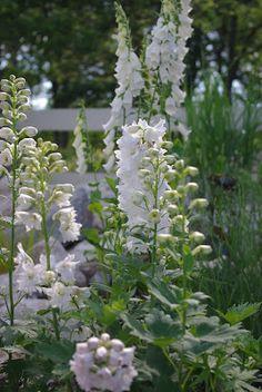 Snow White Delphiniums & Foxglove - I'd like to plant a Moon Garden this summer. Beautiful Gardens, White Flowers, Garden Design, Cottage Garden, Plants, Moon Garden, Planting Flowers, Delphinium, White Gardens