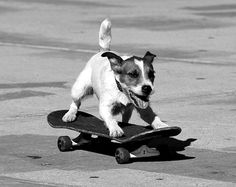 skater pup | dog skateboarding | funny | cute | black and white | fun | awesome | jack russell