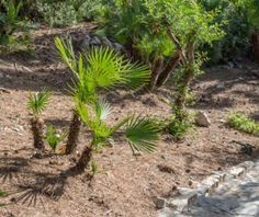 Mediterranean Fan Palm Care - Tips For Growing A Mediterranean Fan Palm