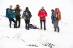 Ptarmigan in winter plumage with hill walkers in background, Cairngorms, Scotland.