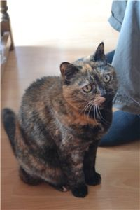 Mature tortie Poppy would like to be a house cat.