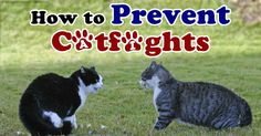 Catfights happen regularly, but here are four ways to help control your aggressive kitties. http://healthypets.mercola.com/sites/healthypets/archive/2014/05/21/catfights.aspx