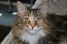 Cats - Maine Coon Cat