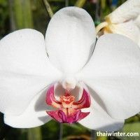 Thailand_Orchids_07