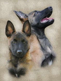 Dog Training with the Gate Exercise Berger Malinois, Belgian Malinois Puppies, Belgian Shepherd, German Shepherd Dogs, Pastor Belga Malinois, Dog Soldiers, Service Dogs, Working Dogs, Rottweiler