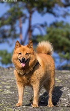 Doggies, Dogs And Puppies, Thai Ridgeback, Spitz Dogs, Pharaoh Hound, Irish Terrier, Snow Dogs, Wild Dogs, Hunting Dogs