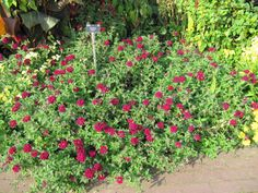 Debbie Arrington: I love remembering this plant from my grandparents' farmhouse, where it lined the driveway and attracted countless bees. In summer it is almost constantly in bloom with rich wine-red flowers.  Verbena 'Claret', vervain