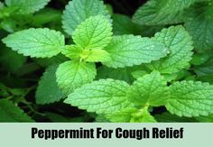 Top 9 Herbal Remedies For Cough | http://www.searchhomeremedy.com/top-9-herbal-remedies-for-cough/