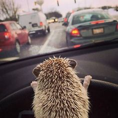 19 Things Hedgehogs Are Not  These things are so stinkin' adorable. At first, I didn't think they were, but they're growing on me!