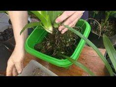 Dica de replante de Orquídeas mantida em segredo até hoje - YouTube