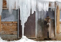= News In Pictures – Extreme cold weather hits Europe A cow looks out of its stable in Davos, Switzerland on February (Arno Balzarini/Keystone/Associated Press) Pictures Of The Week, Weird Pictures, I Love Snow, Central And Eastern Europe, Davos, Winter Beauty, Old Barns, Winter Photography, Amazing Photography