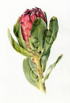 protea stokoei botanical illustration by Willie Schlechter Botanical Wall Art, Botanical Drawings, Botanical Flowers, Botanical Prints, Vintage Botanical Illustration, Protea Art, Protea Flower, Illustration Botanique, Plant Illustration