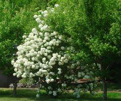 Viburnum 'snowball bush' opulus sterile