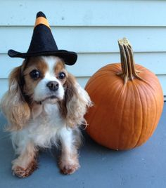 Cavalier King Charles Dog, King Charles Spaniel, Spaniels, Dog Training, Cute Puppies, Doggies, Dog Breeds, Dog Cat, Cute Animals