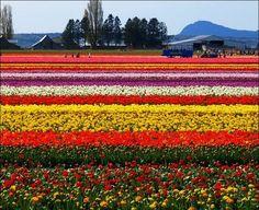 tulips fields netherlands | Beautiful Tulip Fields in Holland