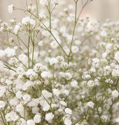 Learn when to plant Baby's Breath seed for weddings in our How to Grow Gypsophila Baby's Breath from Seeds instructions. Baby's Breath is easy to grow.