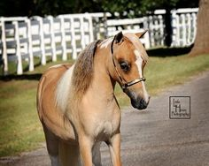 Bred Mares, AMHA/PtHA/AMHR Located in Oklahoma. Lil Beginnings Free Sale Board