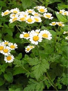 Feverfew is great for repelling mosquitoes and other flying biting insects. It is ideal for planting around outdoor seating areas, pathways and close to doorways and windows; for maximum benefit, plant in conjunction with citronella grass and lavender. Healing Herbs, Medicinal Plants, Shade Garden, Garden Plants, Repelir Mosquitos, Outdoor Seating Areas, Kraut, Organic Gardening, Herb Gardening
