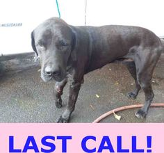 SAFE --- RUFUS (A1687663) I am a male black Great Dane and Fila Brasileiro.  The shelter staff think I am about 1 year and 8 months old and I weigh 110 pounds.  I was found as a stray and I may be available for adoption on 03/29/2015. — hier: Miami Dade County Animal Services. https://www.facebook.com/urgentdogsofmiami/photos/pb.191859757515102.-2207520000.1427158027./949903791710691/?type=3&theater