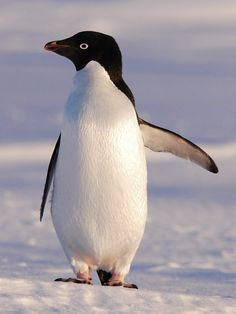 Adélie penguin:  Adélie penguins breed and raise their young farther south than any other penguin, on the continent of Antarctica. In September and October—springtime in that part of the world—thousands of Adélies gather on the rocky Antarctic shoreline. The huge gatherings are called colonies. This is where the Adélies breed and raise their young.