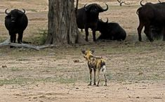 Wild Dogs and Buffalo at Welverdiend waterhole on the near Satara Kruger National Park, National Parks, Blue Wildebeest, African Wild Dog, Wild Dogs, Hunting Dogs, Dog Walking, Wildlife Photography, Big Cats