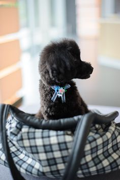 #toypoodle #blackpoodle #bluepoodle #haircut sideface sitting in a comfy carry bag♥