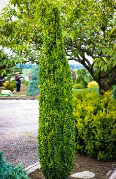 Buy Graham Blandy Boxwoods (Buxus sempervirens 'Graham Blandy'). Free Shipping On All Orders Over $99 with an Arrive Alive Guarantee.