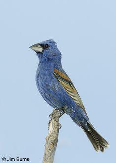Ann birds of michigan by charles black httpsamazondp blue grosbeak michiganbluebirdsbirdbirdwatching publicscrutiny Gallery