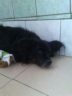 Gutek dochodzi do siebie po operacji, miał wypadek. Kochany #pies, #doadopcji !