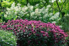 """Monarda """"Vintage Wine"""" with Persicaria Polymorpha in the background"""