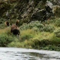 Huge Bull Moose GIF - Moose runs along river's edge gif - Moose Hunting, Bull Moose, Pheasant Hunting, Turkey Hunting, Archery Hunting, Nature Animals, Animals And Pets, Cute Animals, Wild Animals Videos