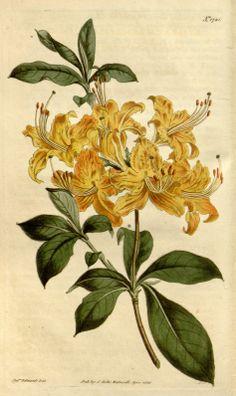 Rhododendron calendulaceum var. crocea - circa 1815