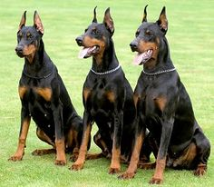 """Doberman Pinscher  my future army, i don't care what people say about their """"temper"""""""