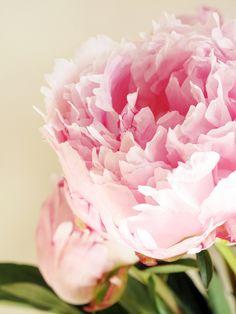 Love peonies. #flowers