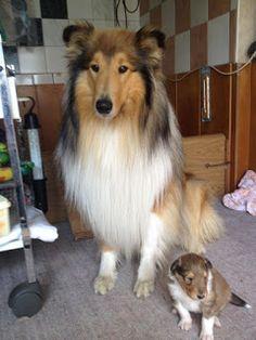 Collies vom Alaunwerkshof: Großer und kleiner Bruder