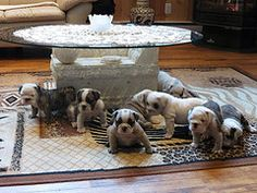 EB ~ 6weeks old. The entire litter of 8 !!  OMG if you could just have them all & have all the time in the world to play and roll on the floor with them !!