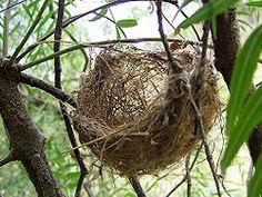 extraños nidos de pajaros - Buscar con Google